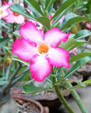Tropical flower Pink Adenium (Desert rose) photo