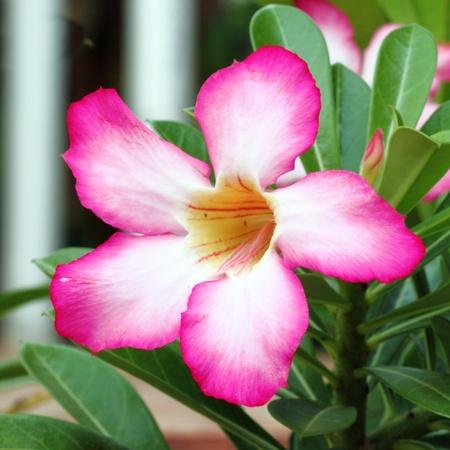 Tropical flower Pink Adenium (Desert rose) Stock Photo - 15303240