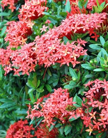 geranium color: Jungle geranium (Ixora coccinea). Red color Stock Photo