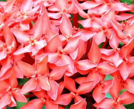 geranium color: Close-up of Jungle geranium (Ixora coccinea). Red color