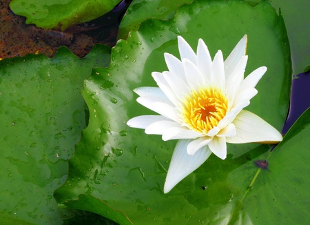 white lotus flower blooming in river photo