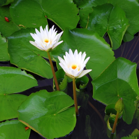 two white lotus flower  in the river