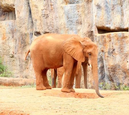 Sandy soil: Los elefantes africanos de pie sobre suelo arenoso y fondo de piedra Foto de archivo