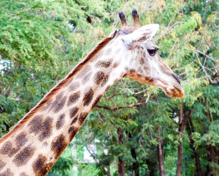 giraffe head with tree background photo