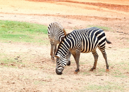 two small zebra eating  grass on sandy soil photo