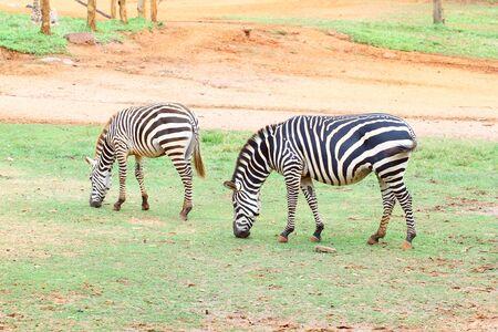 sandy soil: due piccole zebra mangiare erba su terreno sabbioso
