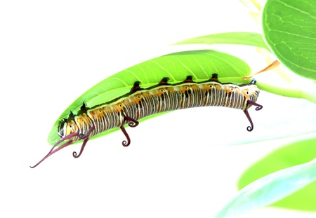 a caterpillar is crawling on a leaf photo