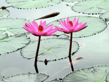 two pInk lotus on the river photo