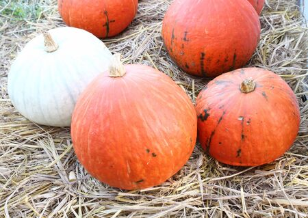 pumpkins on straw in farm photo