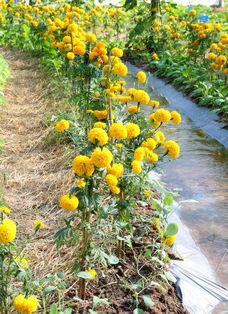 garden marigold: Marigold flower garden with water