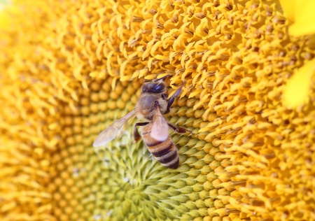 Bee on sunflower. Close-up view photo