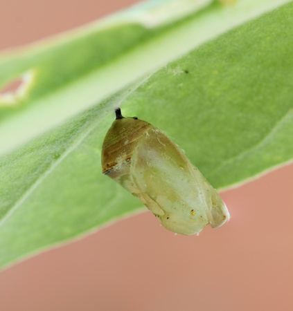 monarch butterfly cocoon on leaf photo