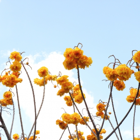 Cochlospermum regium, also known as Yellow Cotton Tree In Thailand photo