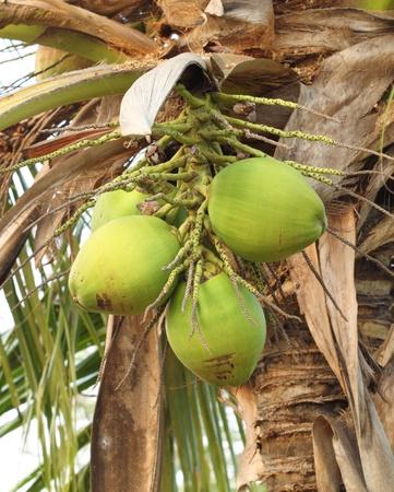 fresh coconut on the tree photo