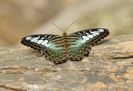 clipper butterfly ( parthenos sylvia) resting on a wood photo
