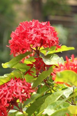 geranium color: Jungle geranium (Ixora coccinea). Close-up. Red color Stock Photo