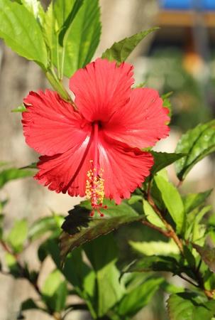 fleur d'hibiscus rouges en Tha�lande Banque d'images - 19687471