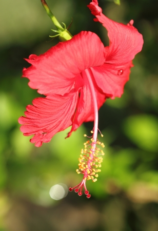 red hibiscus flower in Thailand photo