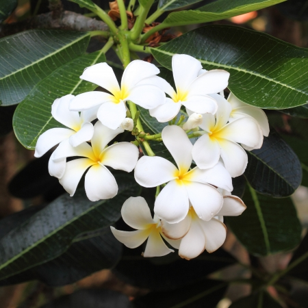 white and yellow frangipani flowers with leaves photo