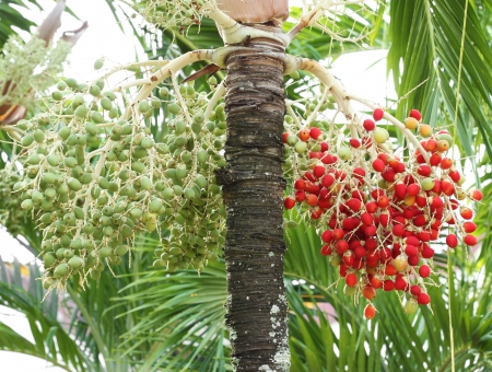 green and red betel nut on tree photo