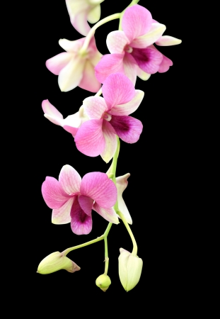 beautiful purple orchid flower on black background photo