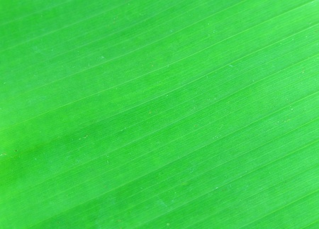 Green banana leaf background abstract photo