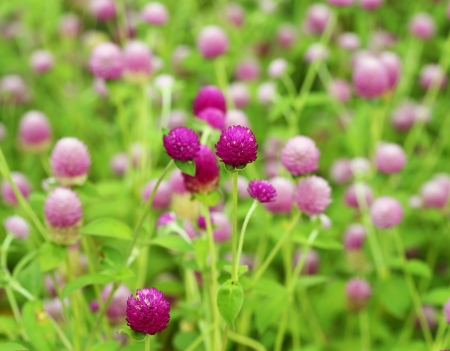 Globe amaranth or Gomphrena globosa flower photo