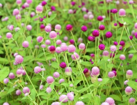 globosa: Globe amaranth or Gomphrena globosa flower