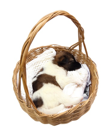 little puppy dog sleeping in basket on white background photo