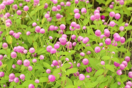 Globe amaranth or Gomphrena globosa flower in the garden photo