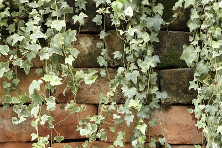 creeper climbing on dirty old brick wall background photo