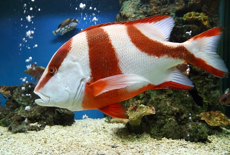 red emperor (Lutjanus sebae) in aquarium photo