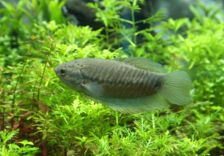 pectoralis: Snake skin gourami (Trichogaster pectoralis) in aquarium