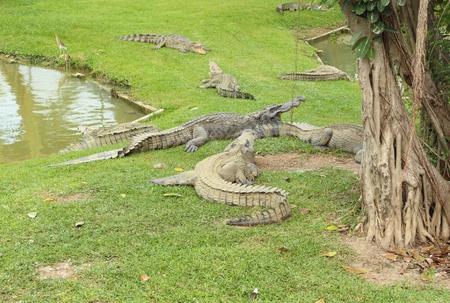 Crocodile resting on the grass near the pond photo