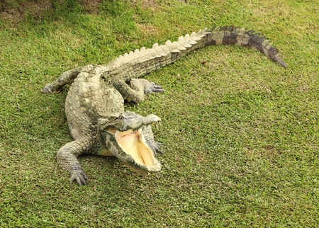 Crocodile opening the mouth resting on the grass photo