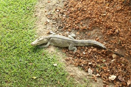 Crocodile resting on the field photo