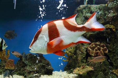 red emperor (Lutjanus sebae) in aquarium photo