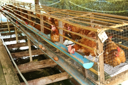 hen or chicken and eggs eating food in farm