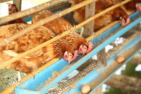 hen or chicken and eggs eating food in farm photo