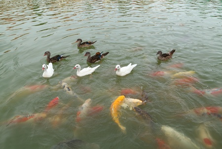 duck with koi fish swimming in the pond photo