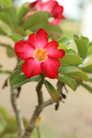 Tropical flower red Adenium. Desert rose. photo