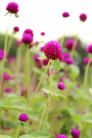 globosa: close-up of Globe amaranth or Gomphrena globosa flower