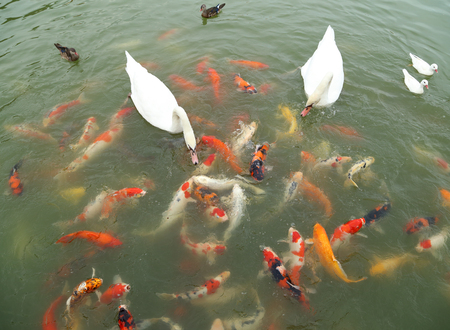 swan and duck with koi fish swimming in the pond photo