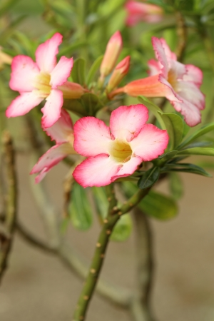 Tropical flower Pink Adenium. Desert rose. photo