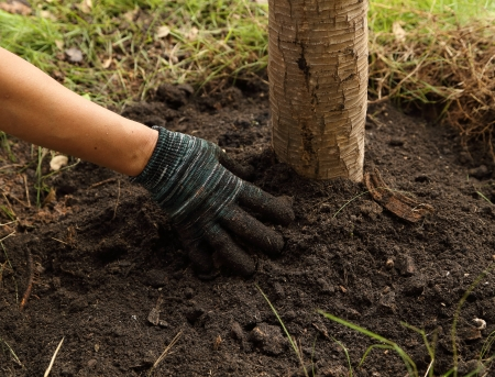 hand with glove planted the tree in soil Banco de Imagens