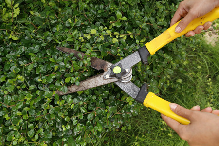 someone trimming bushes with garden scissors photo