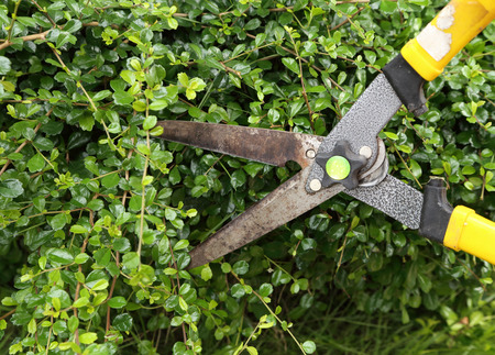 trimming bushes with garden scissors photo