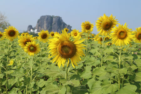 sunflower in field with mountain background photo