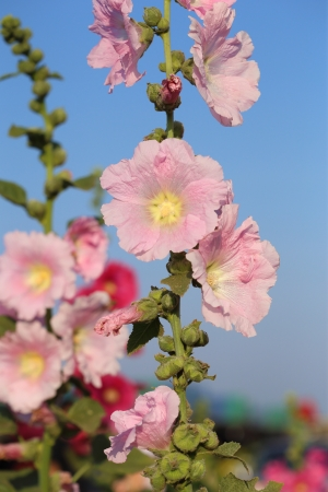 Pink hollyhock (Althaea rosea) flower blossoms photo