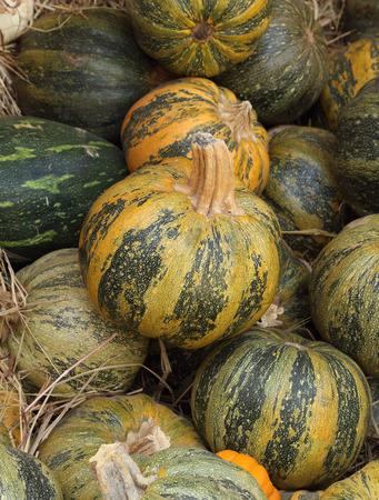 many ripe green pumpkin photo